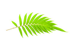 Fresh fern leaves isolated on white background. Fresh fern leaves isolated on white background Royalty Free Stock Photography