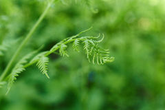 Fresh fern shoots in the spring. Royalty Free Stock Photos