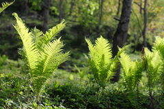 Fresh fern in sunshine. Sichuan, China Royalty Free Stock Images