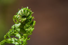 Fresh Fern. A whirling fern still curled and steadily growing to begin its summer long journey of growth showing mother natures miracle royalty free stock photo