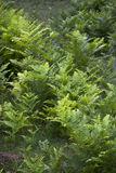 Fresh ferns pattern. A view over a wetland of ferns, creating a pattern of lines and colors Stock Photo