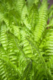 Fresh ferns in spring Royalty Free Stock Images