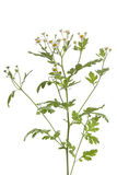 Fresh Feverfew Royalty Free Stock Image