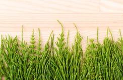 fresh field horsetail Stock Image