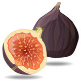 Fresh figs . Vector. Fresh figs  on white. Vector illustration Stock Photography