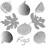 Fresh figs . Vector. Fresh figs  on white. Vector illustration Royalty Free Stock Photos