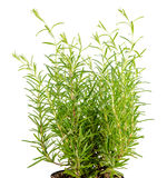 Fresh fines herbes, rosemary is isolated on white Royalty Free Stock Photo