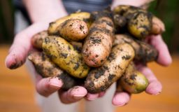 Fresh Fingerling Potatos Royalty Free Stock Photos