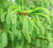 Fresh fir branch Stock Photo