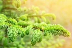 Fresh fir branch Royalty Free Stock Photography
