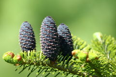Fresh fir cone. In spring time Royalty Free Stock Images