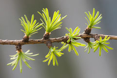 Fresh fir tree branch. evergreen leaves needles, gray background. shallow depth of field. Royalty Free Stock Photography