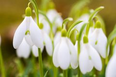 Fresh first snowdrops blooming Stock Image