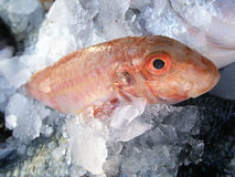 Fresh fish. Chilled in ice for sale Royalty Free Stock Photography