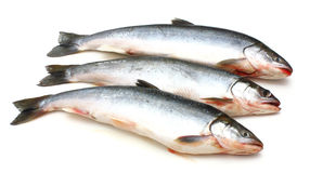 Fresh fish. Three fresh sea fishes lie nearby on a white background Stock Photography