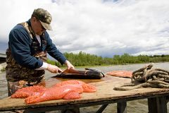 Fresh Fish. A man wearing camouflage cleaning a fresh caught salmon Royalty Free Stock Photo