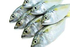 Fresh fish. Fresh mackerel isolated on white Royalty Free Stock Photography