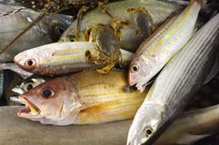 Fresh fish. Pacific fresh fish and crab background Royalty Free Stock Photos