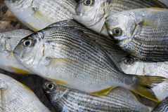 Fresh Fish. A lot of fresh fish, close-up Stock Images