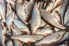 Fresh fish. Caught in the river Royalty Free Stock Photography