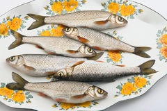 Fresh fish. Caught in the river Stock Photo