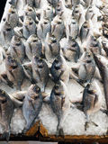 Fresh Fish, Athens Markets, Greece. A number of fresh whole fish, displaying rigor mortis and standing on crushed ice, making a natural pattern, for sale at the Stock Image