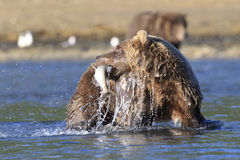 Fresh Fish. Brown Bear with salmon in mouth Stock Photography