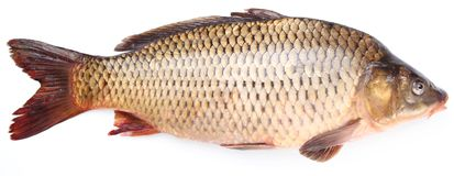 Fresh fish carp. On a white background Royalty Free Stock Image