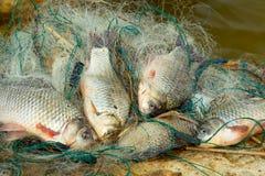 Fresh fish - carp Stock Photography