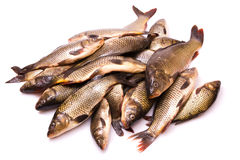 Fresh fish a carp Stock Photos
