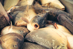 Fresh fish carp Stock Image