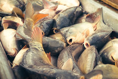 Fresh fish carp Royalty Free Stock Photography