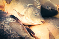 Fresh fish carp Stock Photos