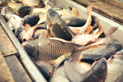 Fresh fish carp Royalty Free Stock Photos