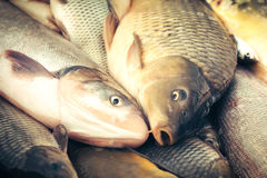 Fresh fish carp Stock Photography