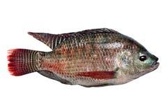 Fresh fish carp Stock Photos