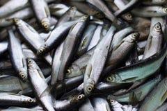 Fresh fish catch. Stock Photography