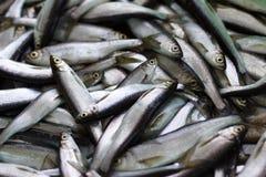 Fresh fish catch. Royalty Free Stock Photo