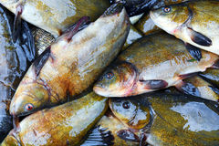 Fresh fish catch on sale. Fresh freshwater fish catch on sale Royalty Free Stock Image