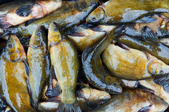 Fresh fish catch on sale. Fresh freshwater fish catch on sale Royalty Free Stock Images