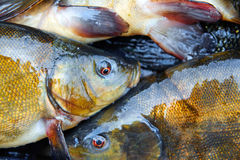 Fresh fish catch on sale. Fresh freshwater fish catch on sale Stock Photography