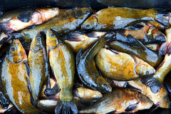 Fresh fish catch on sale. Fresh freshwater fish catch on sale Stock Photo