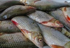 Fresh fish caught in the lake on a plate royalty free stock images