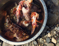 Fresh fish caught. Some fresh scorpion-fish (Scorpaenidae) caught in a bowl Stock Image