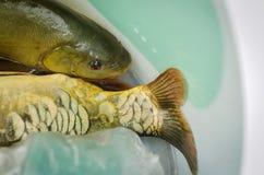 Fresh fish. Fish close up. Food fish - Fish concept Royalty Free Stock Photo