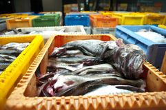 Fresh Cod Fish in Shipping Container. Fresh cod fish read to be shipped in heavy duty shipping containers Royalty Free Stock Photos