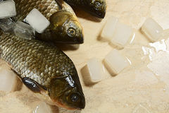 Fresh fish and covered by ice. Royalty Free Stock Images