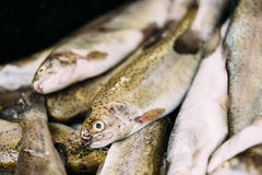 Fresh Fish On Display On Ice On Market Store Shop. Seafood Fish Royalty Free Stock Photos