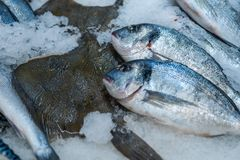 Fresh fish Dorado lying on the shelf in the store on the ice royalty free stock images