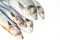 Fresh fish Dorado and Mackerel Royalty Free Stock Images